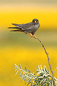 Red-footed Falcon (Falco vespertinus ) male on branch and background Sunflower in bloom, Hortobagy , Hungary
