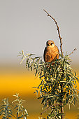Red-footed Falcon (Falco vespertinus ) female on branch and background Sunflower in bloom, Hortobagy , Hungary