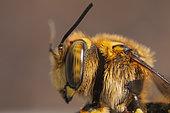 Portrait of Potter Bee (Anthidium florentinum), France