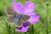 Geranium Argus (Eumedonia eumedon) male sunbathing wing open, Haute-Savoie, Alps, France