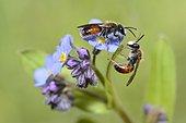 Andrène labiée (Andrena labiata) sur myosotis, Parc naturel régional des Vosges du Nord, France