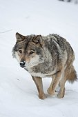 Gray wolf (Canis lupus) walking in the snow, Animal Park Angles, Pyrenees Orientales, France
