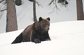 Brown Bear (Ursus Arctos) walking in the snow, Animal Park Angles, Pyrenees Orientales, France