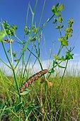 Spurge Hawk-moth (Hyles euphorbiae), Caterpillar on an Euphorbia stem, Hérault, France
