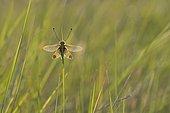 Butterfly-lion (Libelloides ictericus) on a stem, Hérault, France