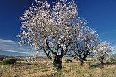 Almond trees (Prunus amygdalus) in bloom, Hérault, France