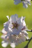 Almond flowers (Prunus amygdalus), Hérault, France