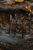 Xylaria (Xylaria comosa) on wood, Tresor Nature Reserve, French Guiana