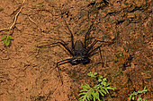 Whip Spider (Heterophrynus alces) in the forest at night near its burrow, Amazonian Park of Guyana, French Guiana
