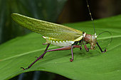 Katydid (Moncheca sp) cleaning one of his antennas on a leaf in forest, Amazonian Park of Guyana, French Guiana