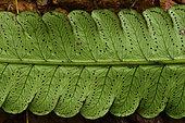 Tree fern (Cyathea spectabilis) Sori on the underside of the leaf, slingshot, fern, Treasure Regional Nature Reserve, French Guiana