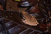 Brownberg Robber Frog (Pristimantis chiastonotus, Synonyme : Eleutherodactylus chiastonotus) in the forest at night, Kaw-Roura Mountain, French Guiana