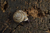 Snail (Labyrinthus bifurcatus) on an old stump in forest, Trésor Nature Reserve, French Guyana