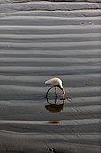 Tellicherry fishing port. Cattle egret (Bubulcus ibis) near the port.
