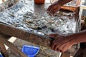 Fishing in Kerala. Sorting of shrimps in Cochin