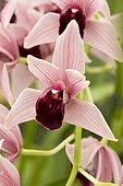 Orchid (Cymbidium) Devon Wine 'Million Veil'