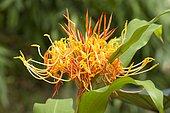 Hornbill's Ginger (Hedychium longicornutum) flowers
