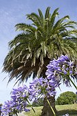 Canary Island date palm and Agapanthus in bloom in a garden - Île-de-Bréhat - France