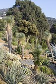 Beaked Yucca (Yucca rostrata) and Agave (Agave sp), Rayol garden, Var, France