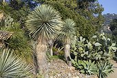 Beaked Yucca (Yucca rostrata), Opuntia cactus (Opuntia sp) and Swan neck Agave (Agave attenuata), Rayol garden, Var, France