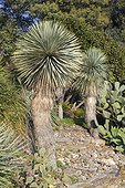 Beaked Yucca (Yucca rostrata) and Opuntia cactus (Opuntia sp), Rayol garden, Var, France