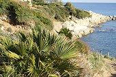 European fan palm (Chamaerops humilis), Cap Taillat, Var, France
