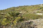 European fan palm (Chamaerops humilis), Erect pricklypear (Opuntia stricta), Aleppo pine (Pinus halepensis), Cap Taillat, Var, France