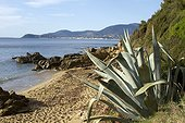 Century Plant (Agave americana) naturalized by the sea, La Croix Valmer, Var, France.