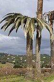 Damage of Red Palm Weevil (Rhynchophorus ferrugineus) on Canary Island Palm (Phoenix canariensis), La Croix Valmer, Var, France