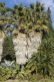 Skyduster palm (Washingtonia robusta)