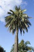 Chilean wine palm (Jubaea chilensis), Garden Olbius Riquier, Hyères, Var, France.