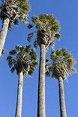 Desert fan palm (Washingtonia filifera) group on blue sky background