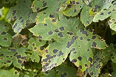 Tar spots on sycamore maple leaves in a garden