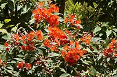 Red flowering gum (Corymbia ficifolia), syn. (Eucalyptus ficifolia), Exotic Garden of Roscoff, Finistere, Brittany, France.