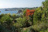 Red Gum (Corymbia ficifolia), Cordyline (Cordyline sp), Norfolk Pine (Araucaria heterophylla), Exotic Garden of Roscoff, Finistere, Brittany, France.