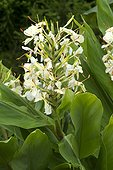 Hedychium 'Devon Cream' flowers