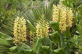 Longose, Kahili ginger (Hedychium gardnerianum) flowers