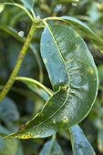 Pittosporum leaf (Pittosporum daphniphylloides var. Adaphniphylloides) (Syn .: Pittosporum adaphniphylloides) deformed and discolored by Pittosporum sucker (Trioza vitreoradiata)