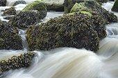 Estuary wrack. Stream meetting the Aber Benoît, Saint-Pabu, Finistère. Bretagne. France - Fucus ceranoides