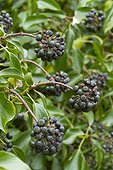 English ivy (Hedera helix) fruits