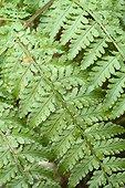 Spinulose wood fern (Dryopteris aemula) leaves, Plougastel-Daoulas, Finistère, Bretagne, France