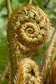 Golden shield fern (Dryopteris affinis subsp. affinis) Fern crosier