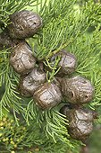 Monterey Cypress (Cupressus macrocarpa) cones
