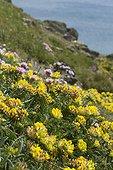 Anthyllide vulnéraire (Anthyllis vulneraria) et Armérie maritime (Armeria maritima) sur une falaise littorale. Locmaria-Plouzané. Finistère. Bretagne. France