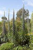 Tree Echium (Echium pininana) at Roscoff Exotic Garden, Finistère, Brittany, France