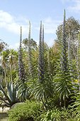 Agave, Yucca and Tree Echium (Echium pininana) at Roscoff Exotic Garden, Finistère, Brittany, France
