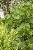 Fern and River pumpkin (Gunnera perpensa) foliage