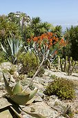 Coral Aloe (Aloe striata) in rock border at Roscoff Exotic Garden, Finistère, Brittany, France