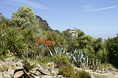 Coral Aloe (Aloe striata), Century Plant (Agave americana) and Cabbage Tree (Cordyline australis) at Roscoff Exotic Garden, Finistère, Brittany, France