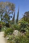 Tree Echium (Echium pininana), Eucalyptus, Canary island date palm (Phoenix canariensis) at Roscoff Exotic Garden, Finistère, Brittany, France